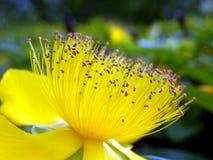 Fleur de calcyinum de Hypericum Image stock