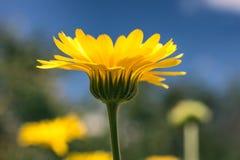 Fleur de Calendula Photographie stock libre de droits