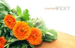 Fleur de Calendula Photo libre de droits