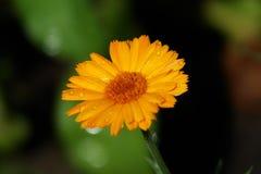 Fleur de Calendula allumée par le soleil Photos stock