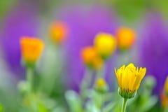 Fleur de Calendula au-dessus de fond de tache floue Image libre de droits