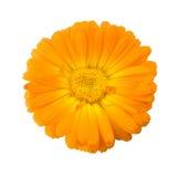 Fleur de Calendula d'isolement sur le fond blanc Photographie stock libre de droits