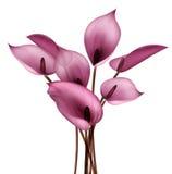 Fleur de calla Photos libres de droits