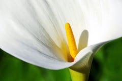 Fleur de calla Photographie stock