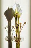 Fleur de callas Image libre de droits