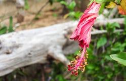 Fleur de Callena image libre de droits