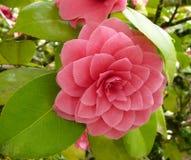 Fleur de camélia s'est levé photos stock