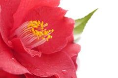 Fleur de camélia Images libres de droits