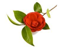 Fleur de camélia Photos stock
