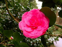 Fleur de camélia dans les roses indien image libre de droits