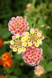 Fleur de camara de Lantana Photographie stock libre de droits