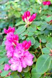 Fleur de camélia Image libre de droits