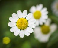 Fleur de camomille Image libre de droits