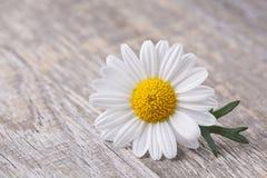 Fleur de camomille Image stock