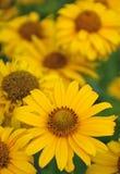Fleur de camomille d'été Photos stock