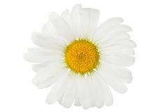 Fleur de camomille d'isolement sur le blanc Image libre de droits