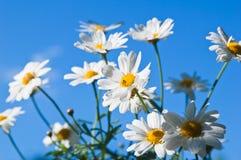 Fleur de camomille de zone Images libres de droits