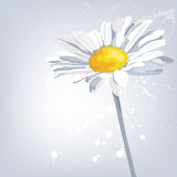 Fleur de camomille Fond d'été Photo stock