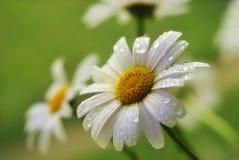 Fleur de camomille sur un fond vert Photographie stock