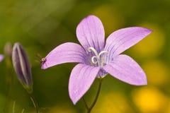 Fleur de Campanula Photographie stock libre de droits