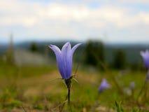 Fleur de campanule de montagne Image stock