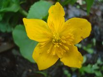 Fleur 01 de canard images stock