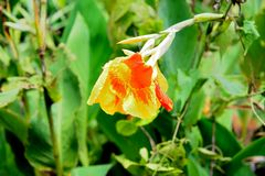 Fleur de Canna Photos libres de droits