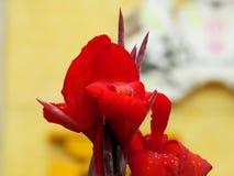 Fleur de Canna images libres de droits