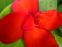 Fleur de Canna images stock
