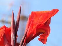 Fleur de Canna photo libre de droits
