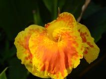 Fleur de Canna photographie stock libre de droits