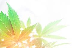 Fleur de cannabis s'élevant à l'intérieur Affaires de marijuana Tension légère du nord Développez-vous élèvent dedans la tente de photo libre de droits