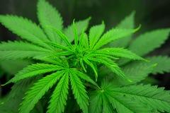 Fleur de cannabis s'élevant à l'intérieur Tension légère du nord Plantation du cannabis Développez-vous élèvent dedans la tente d images stock