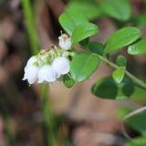 Fleur de canneberge Photo libre de droits
