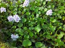 Fleur de cannelure dans l'étang image libre de droits