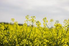 Fleur de Canola dans le domaine Photos libres de droits
