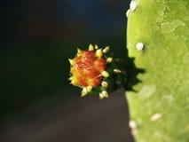 Fleur de Cantus Photographie stock libre de droits