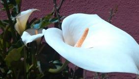 Fleur de cartouche photos stock