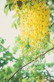 Fleur de casse Photos stock