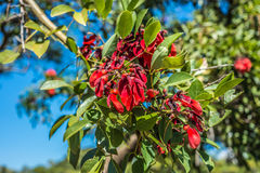 Fleur de Ceibo sur des bois de Palerme à Buenos Aires Image stock