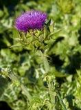 Fleur de centrale de chardon Photos stock