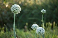 Fleur de cepa d'allium Photos libres de droits