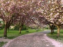 Fleur de cerise Photo libre de droits