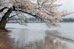 Fleur de cerise. Photo libre de droits