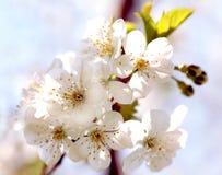 Fleur de cerise Photographie stock