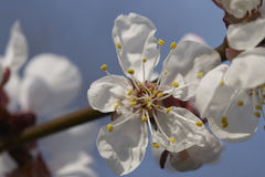 Fleur de cerise Photos libres de droits