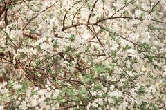 Fleur de cerise abstraite photographie stock