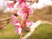 Fleur de cerise avec la coccinelle Images libres de droits