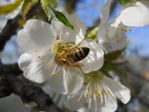 Fleur de cerise avec une abeille Photos libres de droits