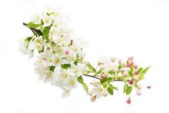 Fleur de cerise blanche Image stock